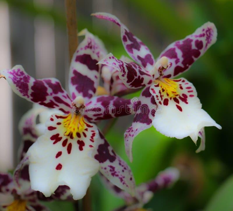Blühende Pedale stolz angezeigt von einem lokalisierten Garten stockbild