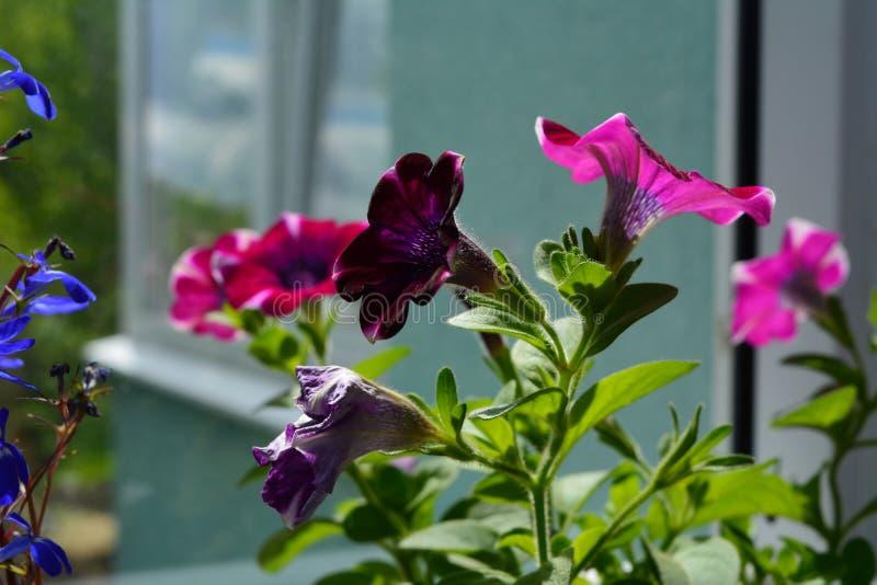Blühende Petunie mit schönen purpurroten und rosa Blumen balkon lizenzfreies stockbild