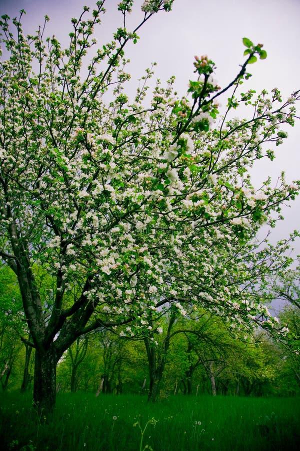 Blühende Pflaume-Bäume lizenzfreie stockfotos