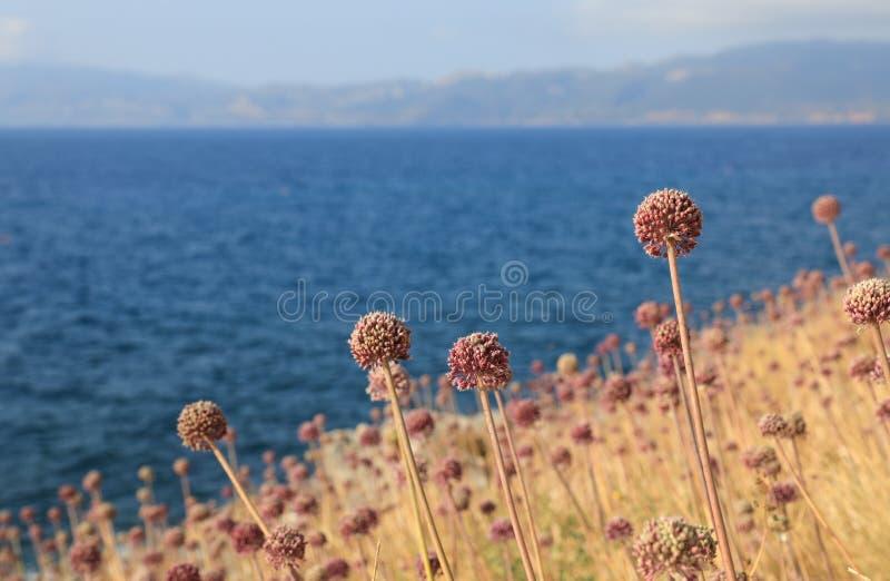 Blühende Porreeköpfchen auf dem mittelalterlichen Schloss Monemvasia-Insel, welches das Ägäische Meer übersieht Monemvasia, Pelop stockfoto