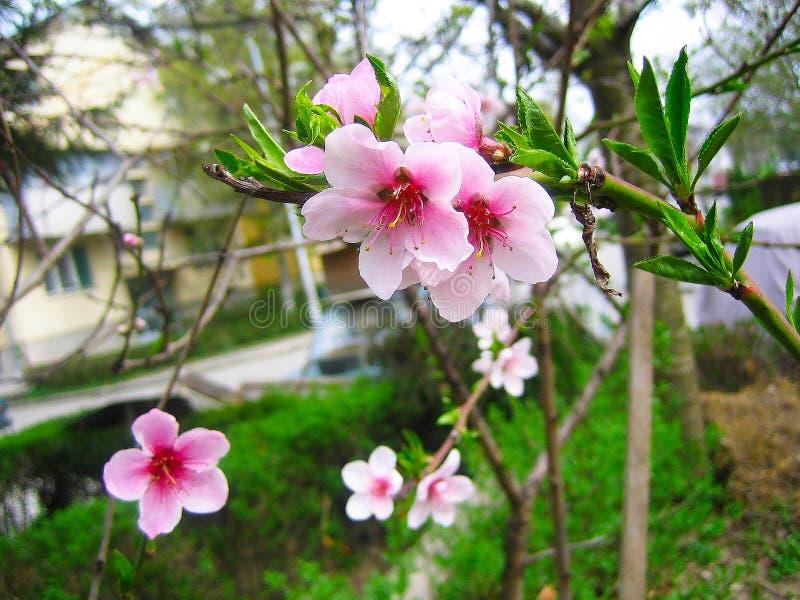Blühende Prognose der Kirschblüte lizenzfreies stockfoto