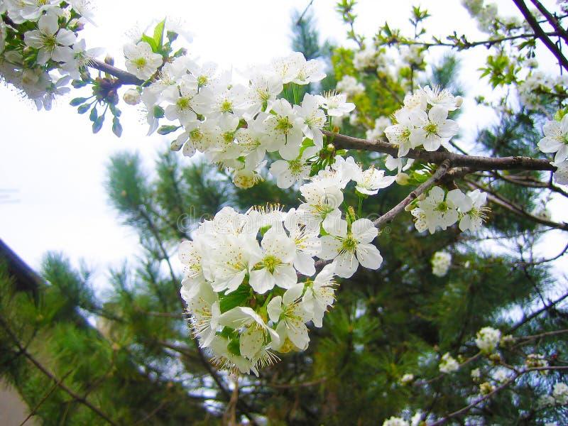 Blühende Prognose der Kirschblüte lizenzfreie stockfotos