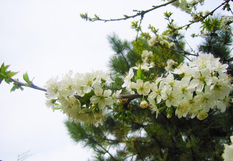Blühende Prognose der Kirschblüte lizenzfreie stockfotografie