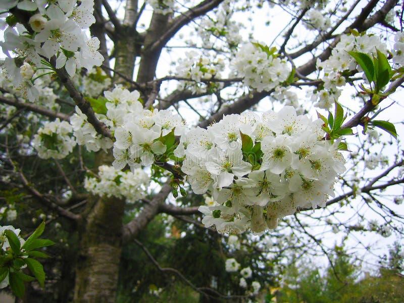 Blühende Prognose der Kirschblüte stockbild