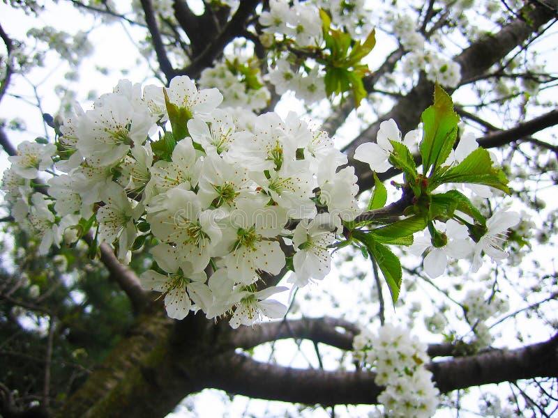 Blühende Prognose der Kirschblüte lizenzfreies stockbild