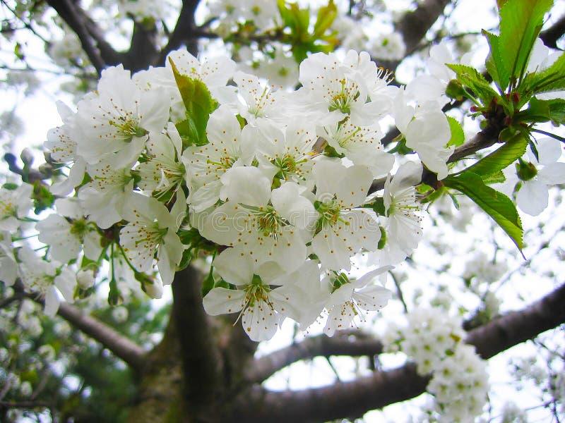 Blühende Prognose der Kirschblüte stockbilder