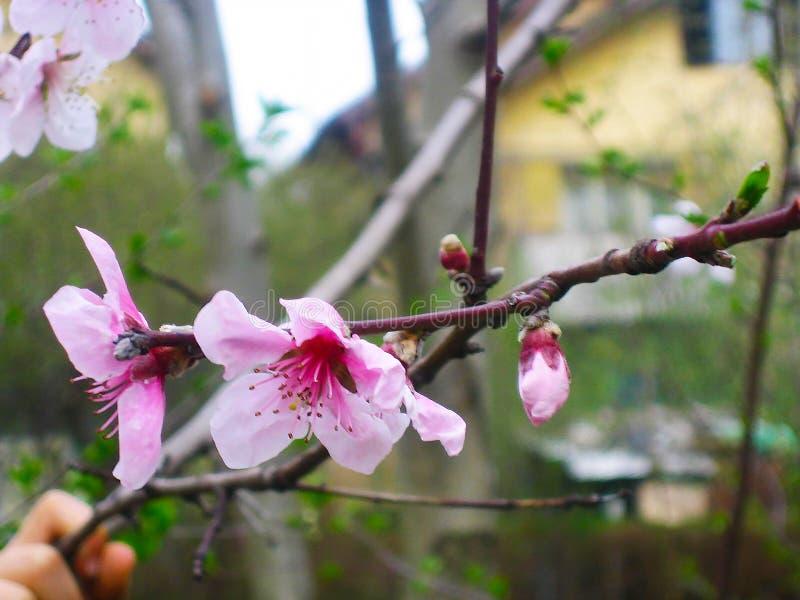 Blühende Prognose der Kirschblüte stockfoto