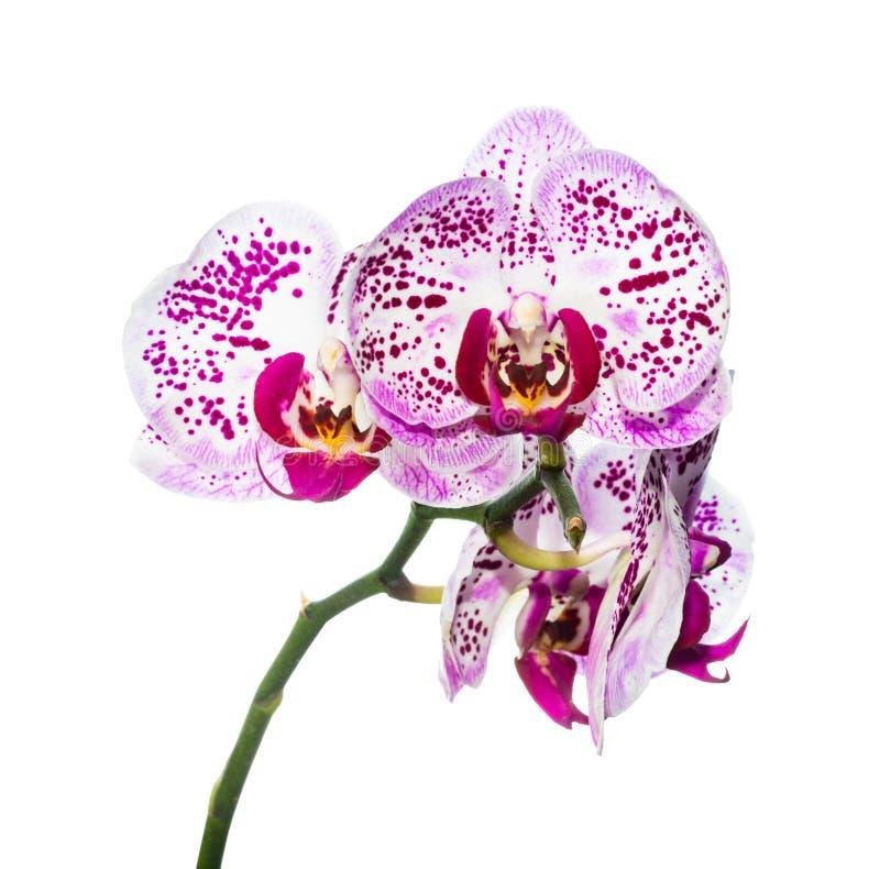 Blühende purpurrote bunte Orchidee wird auf Weiß lokalisiert stockbild