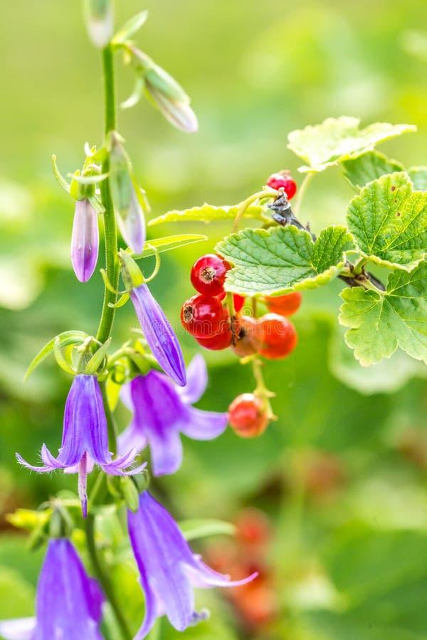 Blühende purpurrote Glockenblume alias Glockenblume mit reifem Strom alias Ribes im Sommergarten lizenzfreies stockbild