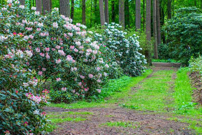 Blühende Rhododendronbüsche stockfotos