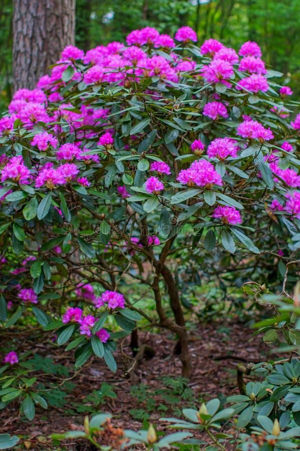 Blühende Rhododendronbüsche stockbild