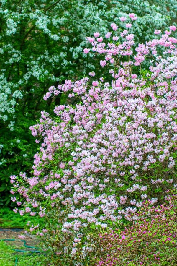 Blühende Rhododendronbüsche lizenzfreie stockbilder