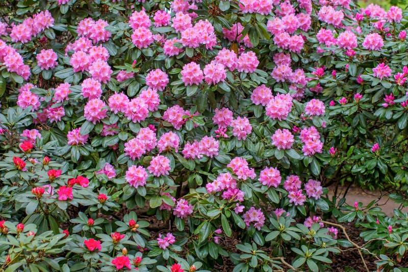 Blühende Rhododendronbüsche stockfoto