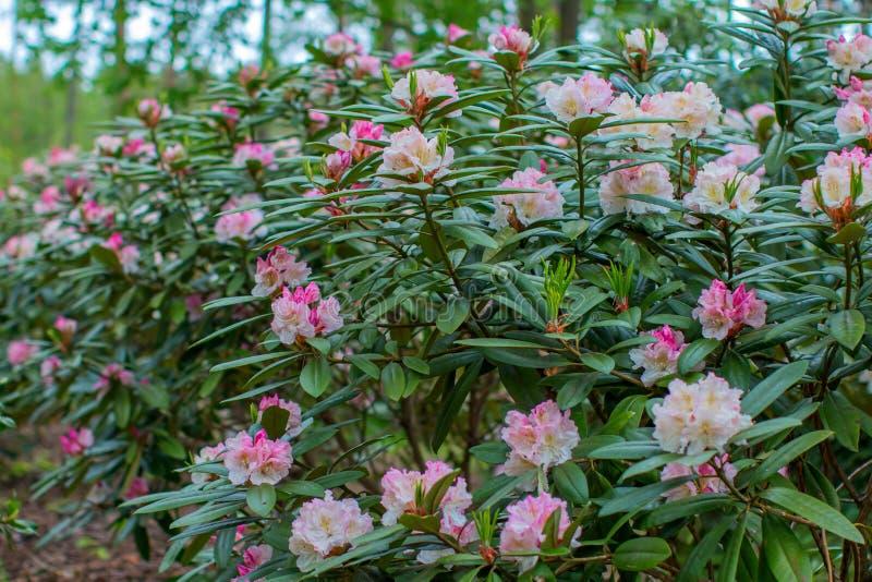 Blühende Rhododendronbüsche lizenzfreie stockfotografie