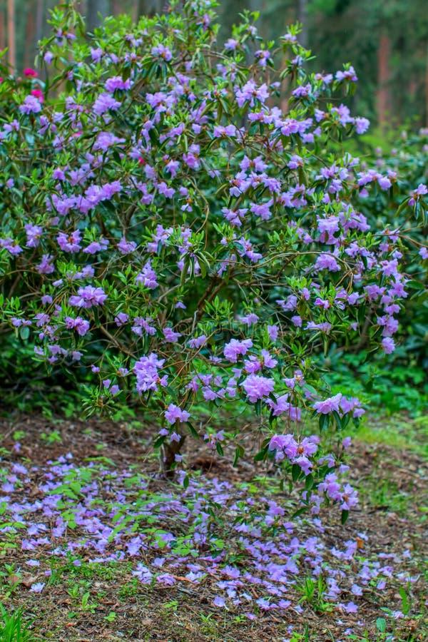 Blühende Rhododendronbüsche stockbilder