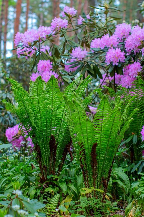 Blühende Rhododendronbüsche lizenzfreies stockfoto