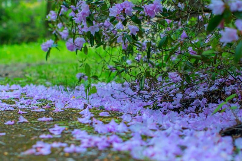 Blühende Rhododendronbüsche stockfotografie
