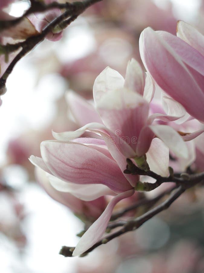 Blühende rosa Magnolienblume im Garten stockfotografie