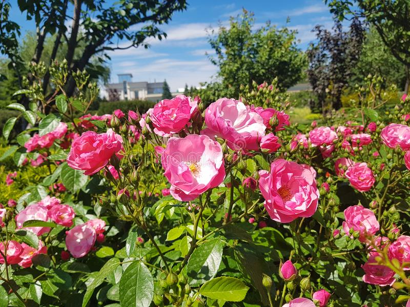 Blühende rosa Rosen auf den Betten im botanischen Garten gegen die Hintergrundbäume und -strauch stockbild