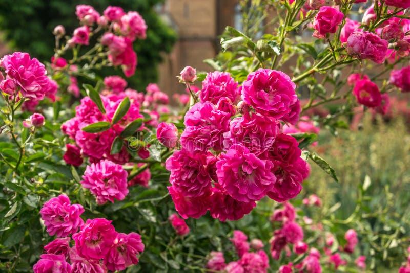 Blühende rosa Rosen und Gassen in einem alten englischen Park stockbild