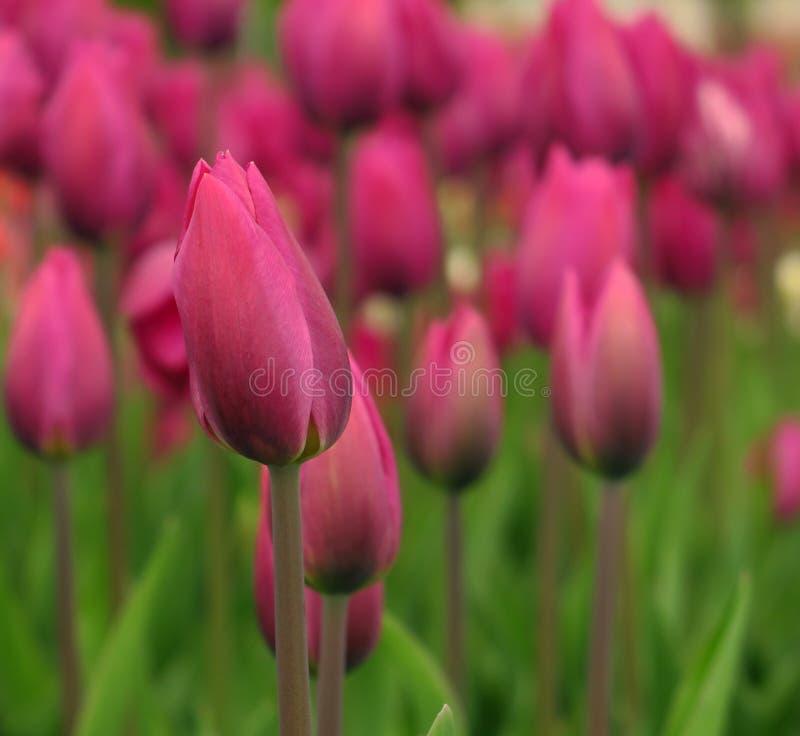 Blühende rosa Tulpenansicht des Frühlinges Blühender Garten der Tulpen im Frühjahr Blühende rosa Tulpenblumen im Frühjahr Frühlin stockbilder