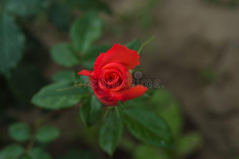 Blühende Rose stockbilder