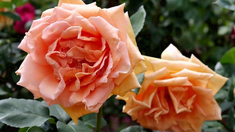 Blühende Rosen an einem sonnigen Sommertag stockfotografie