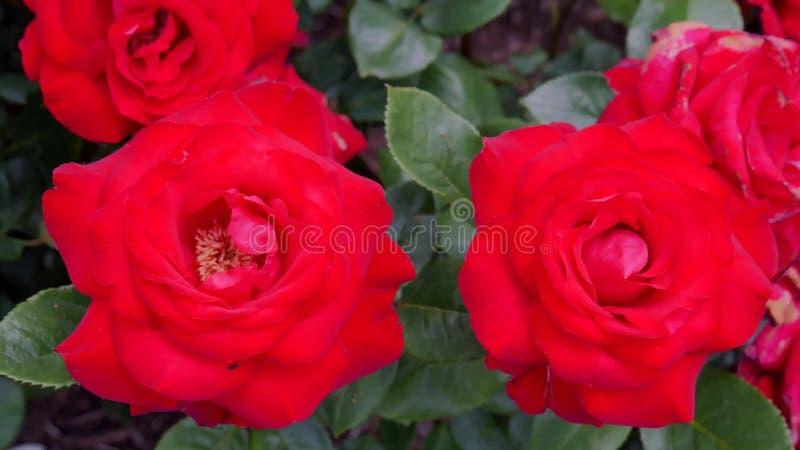 Blühende Rosen an einem sonnigen Sommertag stockfotos