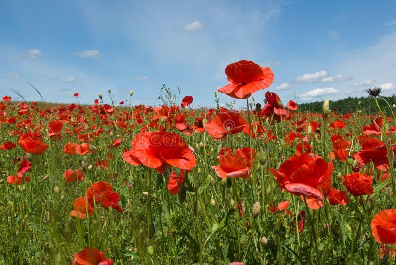 Blühende rote Mohnblumen stockbild