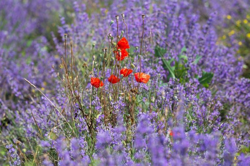 Blühende rote Mohnblumen lizenzfreie stockbilder