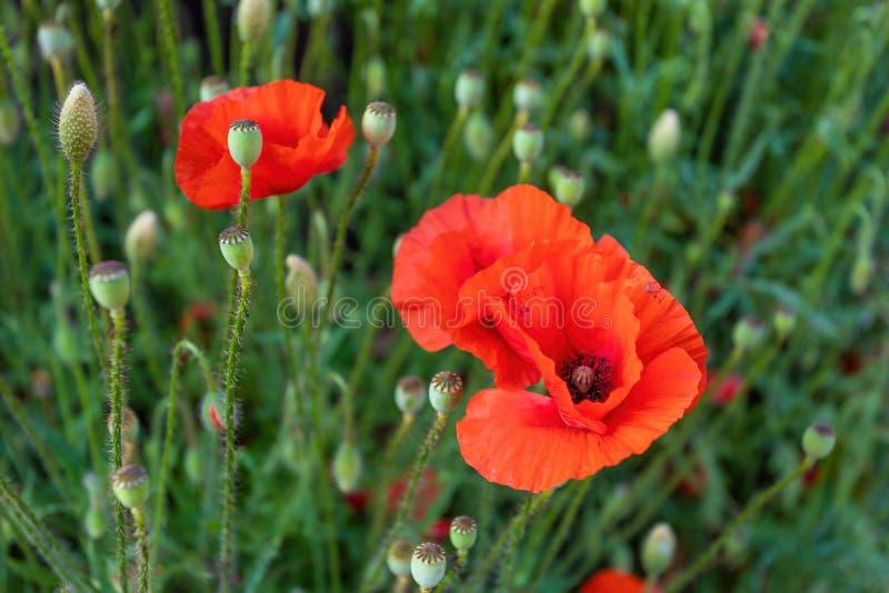Blühende rote Mohnblumenblume im Sommer lizenzfreie stockfotos