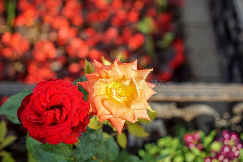 Blühende Rotrose und -orange stiegen auf unscharfen Balkon, Rot-, violetteblume und Grünblattgarten bokeh Hintergrund am Sonnensc stockfotografie