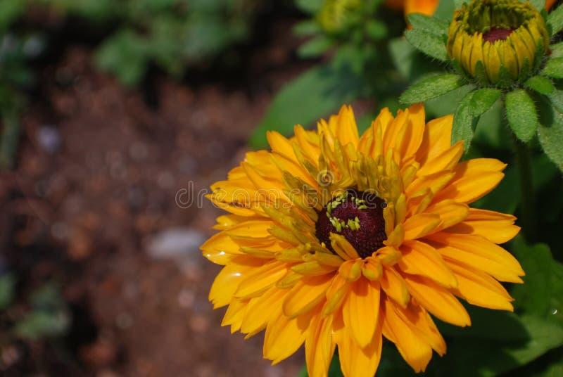 Blühende Rudbeckia Hirta-Blume in einem Garten lizenzfreie stockfotos