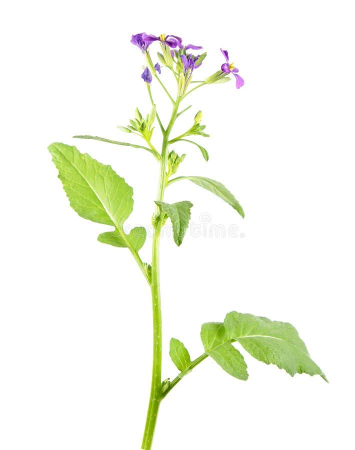 Blühende Sativusanlage Rettich Raphanus mit purpurroten Blumen und grünen den Blättern lokalisiert auf weißem Hintergrund stockfoto