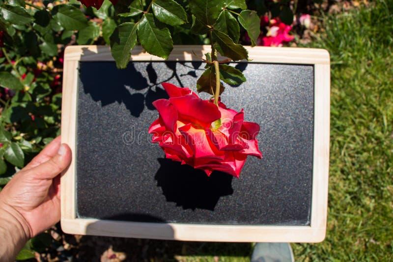 Blühende schöne bunte Rose auf einem Brett lizenzfreie stockfotografie