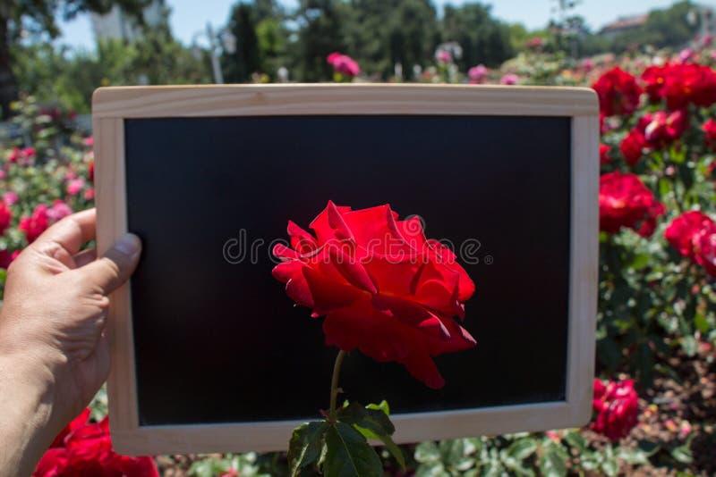 Blühende schöne bunte Rose auf einem Brett stockfoto