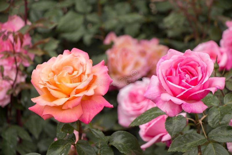 Blühende schöne bunte Rosen im Garten stockfoto