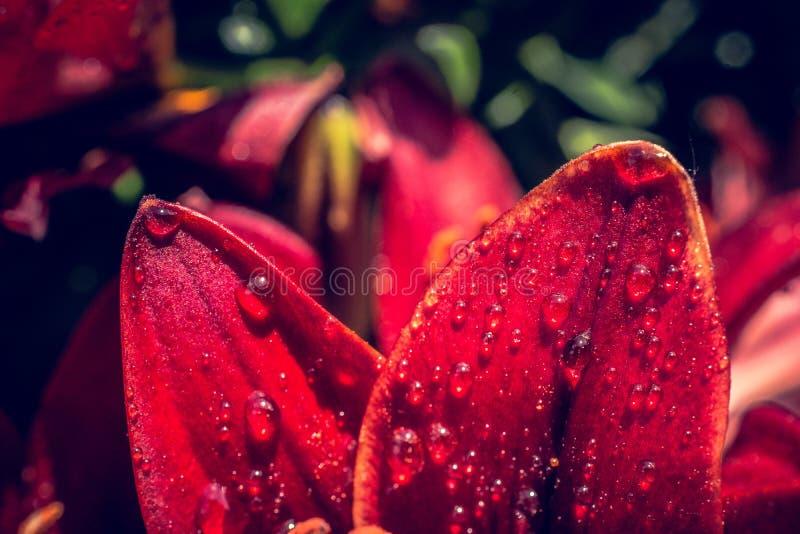 Blühende schöne Lilienblumen in der Makroansicht stockfotos