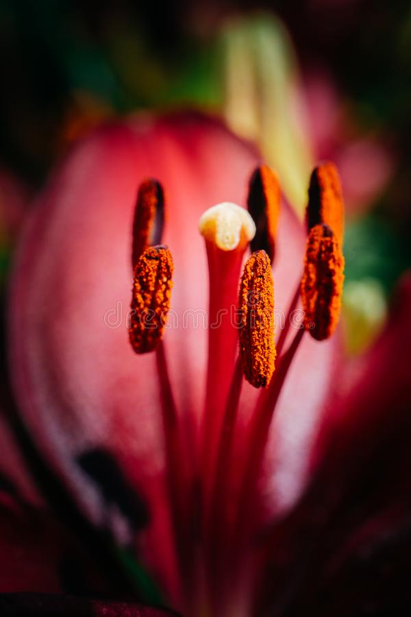 Blühende schöne Lilienblumen in der Makroansicht stockfoto