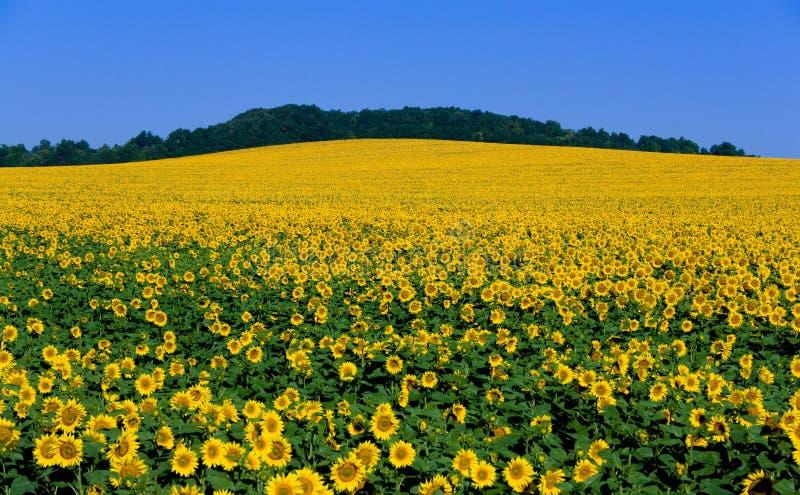 Blühende Sonnenblume des großen Feldes lizenzfreies stockbild