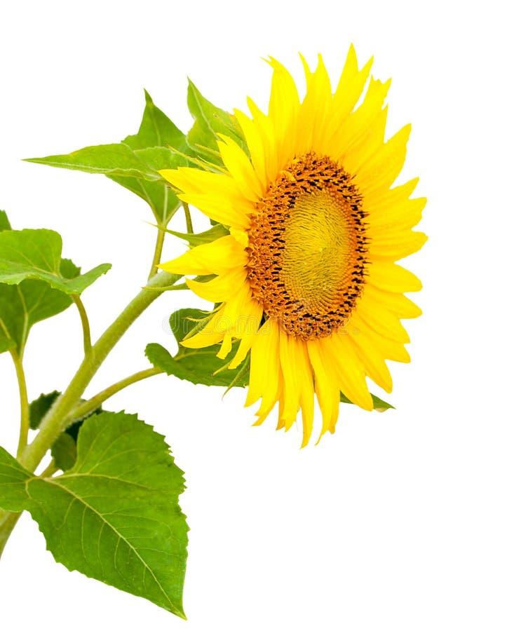 Blühende Sonnenblume, lokalisiert auf weißem Hintergrund stockbilder