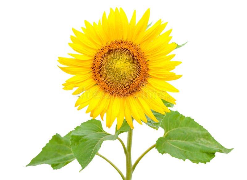 Blühende Sonnenblume, lokalisiert auf weißem Hintergrund lizenzfreies stockfoto