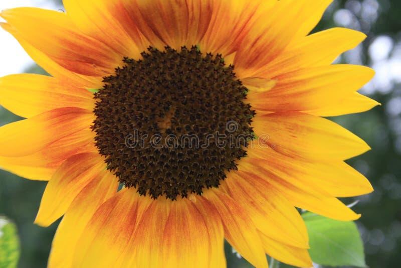 Blühende Sonnenblume mit Gelb, Braun und Rot lizenzfreie stockbilder