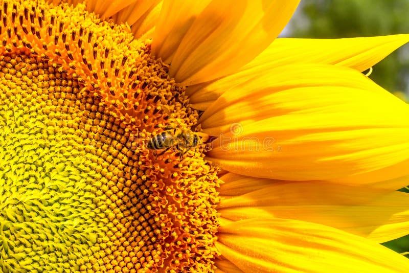 Blühende Sonnenblume und Bestäubung er Honigbiene lizenzfreies stockfoto