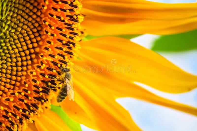 Blühende Sonnenblume und Bestäubung er Honigbiene stockfotografie