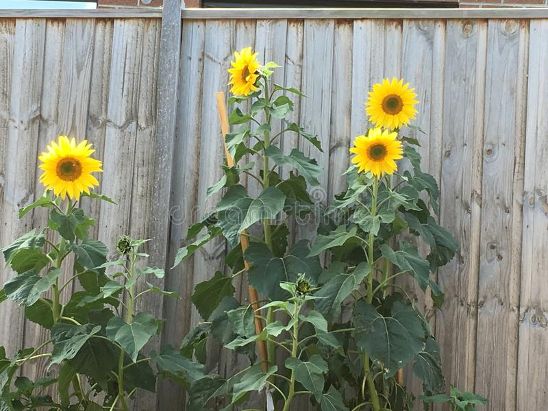 Blühende Sun-Blumen erreichen große Höhen stockfotografie