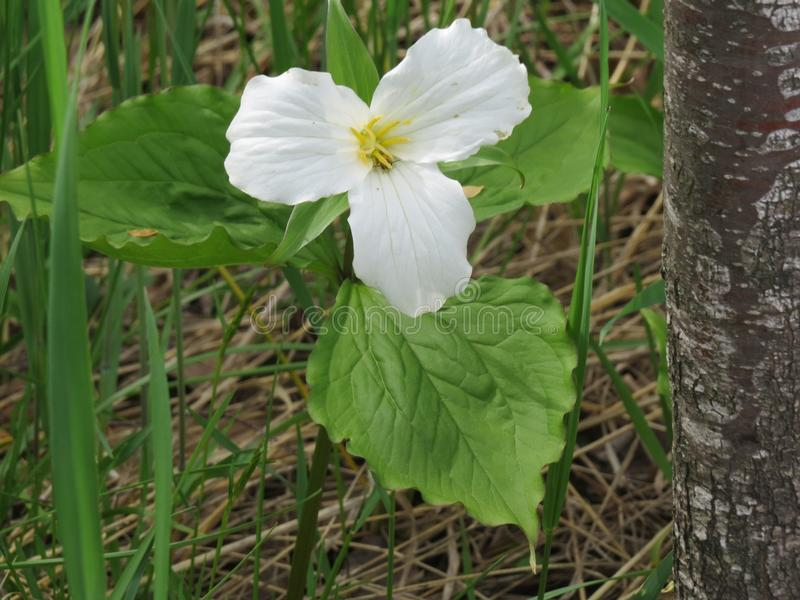 Blühende Trillium Grandiflorum-Blume gestaltet durch Gras und einen Baum lizenzfreie stockfotos