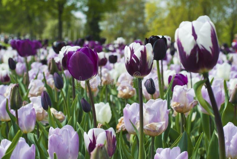 Blühende Tulpen des Purpurs und des Weiß lizenzfreies stockfoto