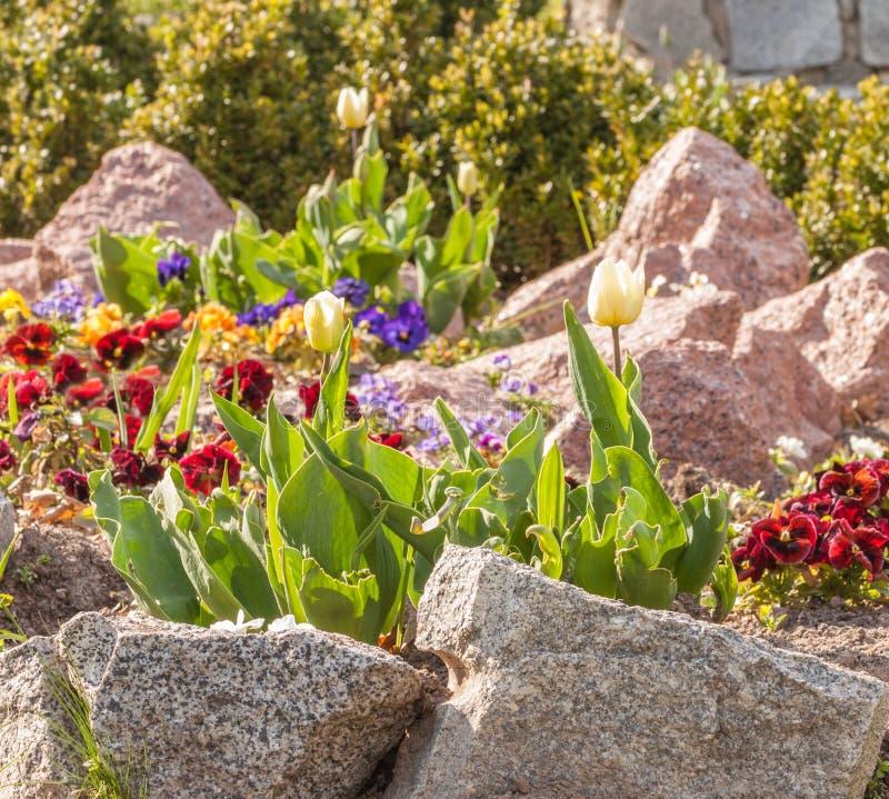 Blühende Tulpen und Viola unter den Steinen lizenzfreie stockfotos