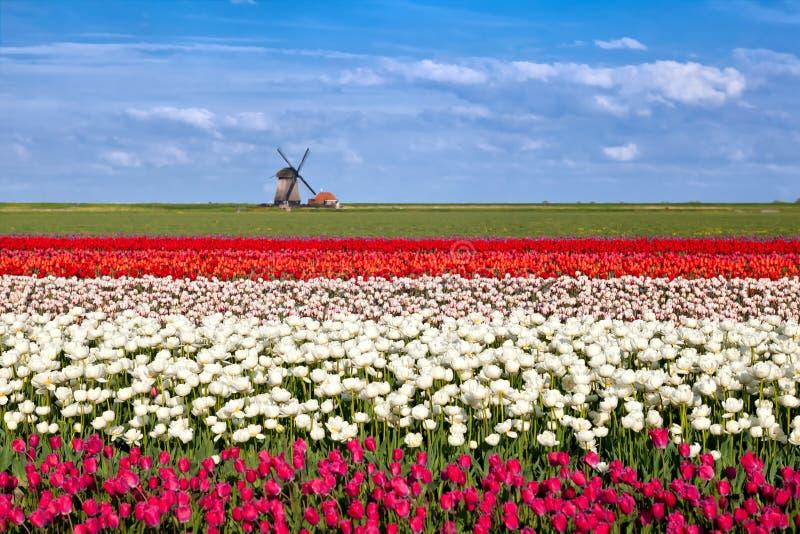 Blühende Tulpenblumen und niederländische Windmühle lizenzfreie stockbilder